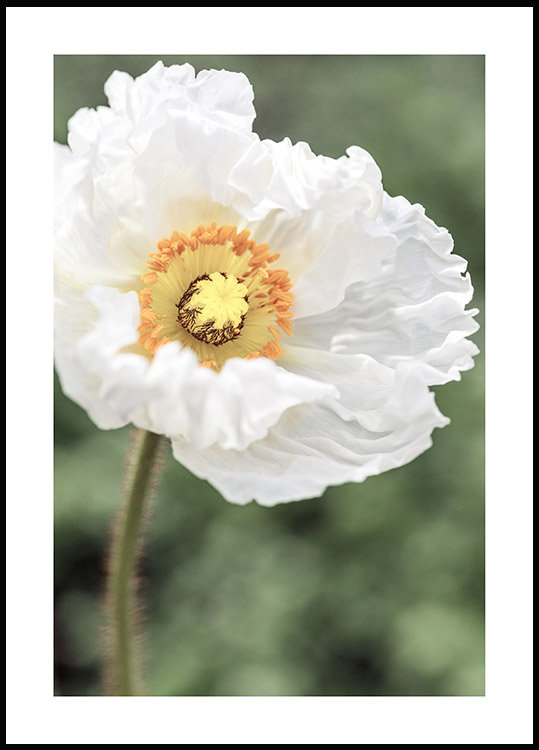 White Poppy Flower Poster